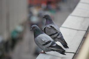 guide anti-pigeon